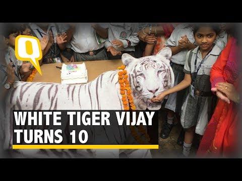 White Tiger Vijay turns 10, Delhi Zoo Celebrates Big Cat's B'day