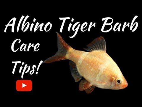 Albino Tiger Barbs Care Tips