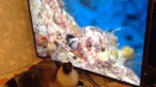кошка любит телевизор