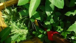 「今日もあなたと百姓一揆!」~旬の有機野菜収穫編@夏の葉物モロヘイヤ収穫 thumbnail