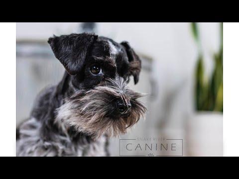 TEACUP Schnauzer Puppy is SOOOOOO ADORABLE! Leila Advanced Training