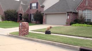Lola - Golden Retriever / Basset Hound Dog Training - Oklahoma