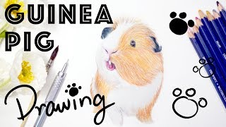 Guinea Pig Realistic Pencil Drawing with color pencil 彩色鉛筆畫天竺鼠 手繪荷蘭豬