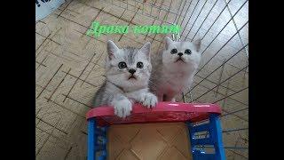 КОТЯТА БЕСЯТСЯ НУ ОЧЕНЬ МИЛЫЕ КОТЯТА СКОТТИШ СТРАЙТ 😻 ПРИКОЛЫ С КОТЯТАМИ 2019 Cute Kittens Cats