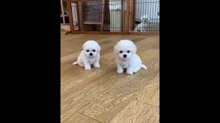 Teacup Bichon Frise Puppies For Sale