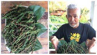 การขยายพันธ์ุต้นพริกไทยโดยการปักชำ ทำง่าย ใช้เวลาไม่นาน เหมาะสำหรับเกษตรพอเพียง l Pai91.5