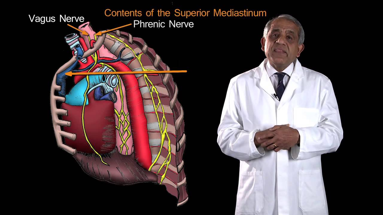 Funky Anatomy Exam Questions Mediastinum Youtube