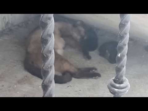 Yorkie Miny. Dog puppy yorkshire terrier de 9 meses tiene visitas. Una gata recien parida. dog & cat