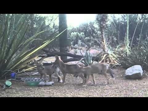 Coyote Pups & Gambel