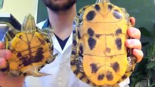 Красноухая черепаха  - пациент