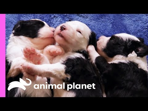 Gracie The Protective Sheepdog Pup Keeps All Her Siblings In Check | Too Cute!