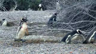 Nat Geo Channel   Animal Fight Night Homewrecking Penguin