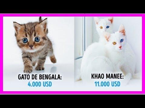 Top 19 gatos fabulosos que cuestan una fortuna