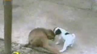 Funny monkey dog sex