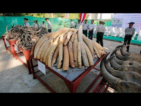 Myanmar Destroys Confiscated Ivory, Opens First Elephant Museum