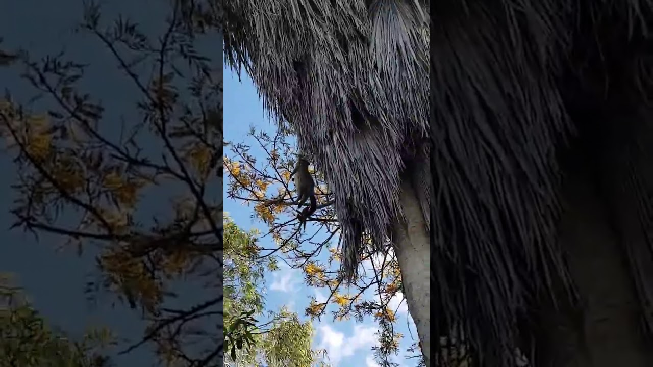python struggles to yank heavy possum into suburban backyard tree