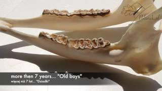 Age determination of Roebuck Old Boys/Ocena wieku rogaczy Dziadki