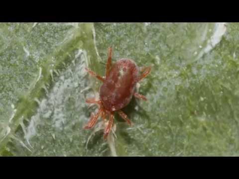 plagas enfermedades del tomate y como tratarlas youtube