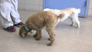 Johnny And Frankie Two Senior Poodle Mixes Available For Adoption At The Wisconsin Humane Society