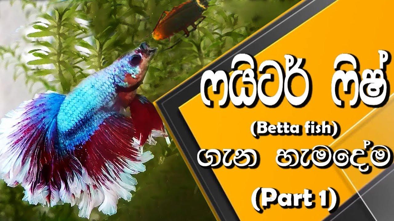 ෆයිටර් ෆිෂ් ගැන හැමදේම (පළමු කොටස)   All about Betta fish (Part 1)   Anything.lk   Pet Care segment