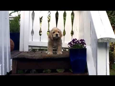 Cute american cocker spaniel puppy barking!
