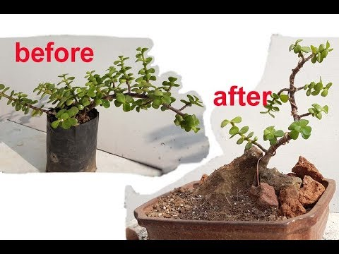 make jade bonsai by wiring prunning step by step for beginners rh youtube com wiring a jade bonsai Dwarf Jade Bonsai