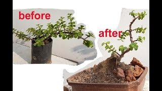 make Jade bonsai by wiring & prunning step by step for beginners