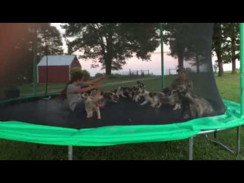 Border Collie Puppies Playing On The Trampoline