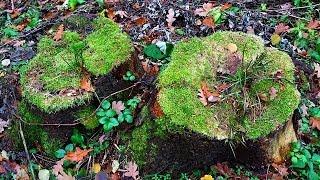 Пни В Лесу. Старые Пни Покрытые Мхом. Видео в Лесу. Футажи для видеомонтажа