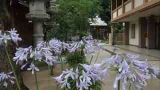 ♪「グリーンスリーブス」 山形由美 (アガパンサスの花々と共に)