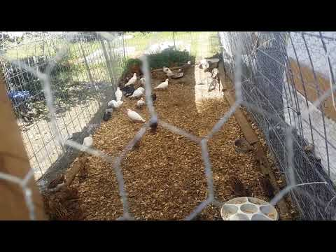 Black Farm Revolution - Raising Pigeons, Quail, Guineas, Chickens & Ducks - Let's Go!