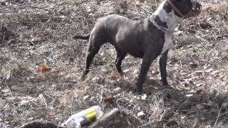 Стаффордширский бультерьер собака стафф(, 2013-04-22T10:45:09.000Z)