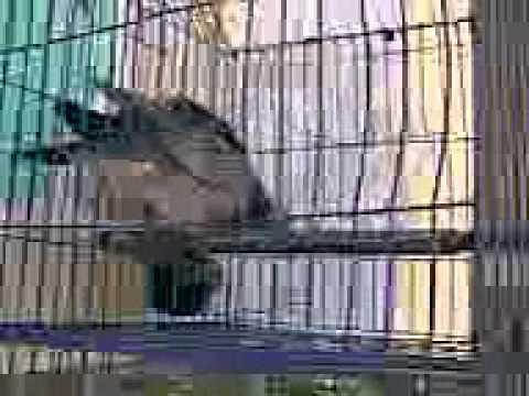 Chim cu Sơn Tịnh, Quảng Ngãi.3gp