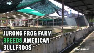 From farm to table, this is Singapore's only frog farm | CNBC International