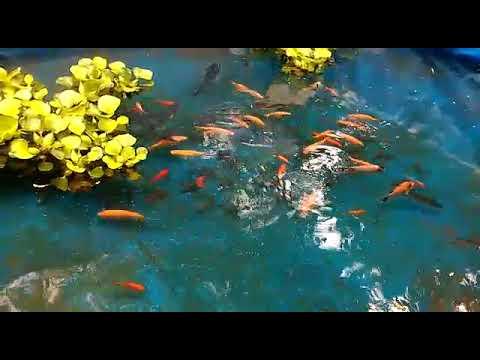 Ikan Bawal Nila Mas Jadi Satu Youtube
