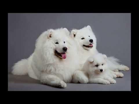 Вопрос: Почему собаки самоеды относятся к группе примитивных собак?