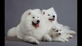 Самоедская собака (Samoyed dog) - порода собак