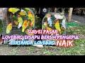 Survei Pasar Disapu Bersih Pengepul Harga Terus Naik Harga Kenari Lovebird Terbaru   Mp3 - Mp4 Download