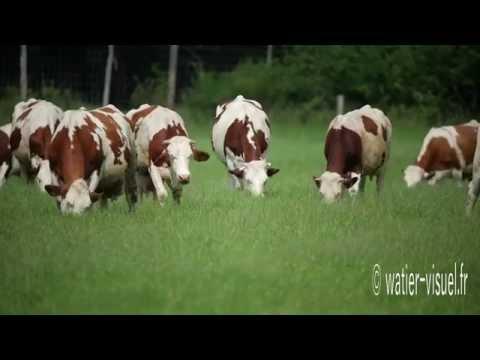 Vaches Montbéliardes en pâture sur un Rays-Grass Hybride
