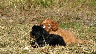 Cavalier King Charles Spaniel, Puppies, For, Sale, In, Raleigh, North Carolina, Nc, Lumberton, Kerne