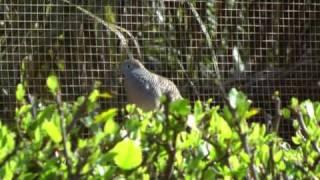 Zebra dove-sounds,Hawaii (Big Island)..
