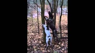 German Shorthaired Pointers Climbing Tree