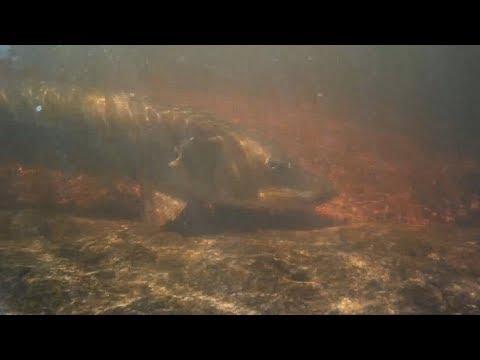 Minnesota Muskie | Underwater Footage | Crane Lake