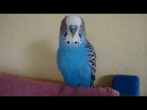 Говорящий попугай кешка 2 самый лучший попугай