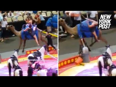 Chaos, injuries after circus camel goes berserk