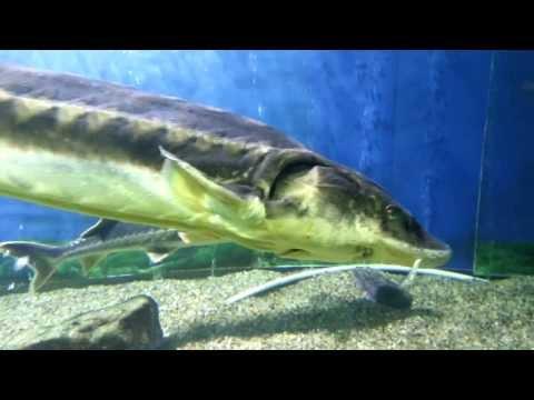 Giant Sturgeons In A Good Aquarium