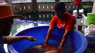 Cara Mengawinkan Ikan Koi? Begini Persiapannya | Pemijahan Ikan Koi Part 1