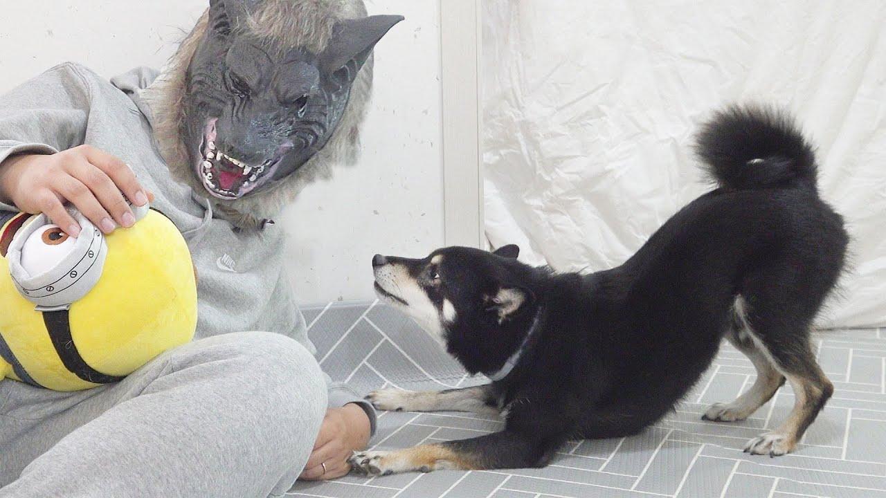 늑대인간을 만난 강아지 반응ㅋㅋ