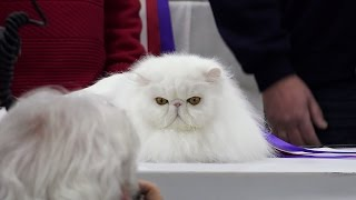 CFA International Cat Show 2016  Best of the Best