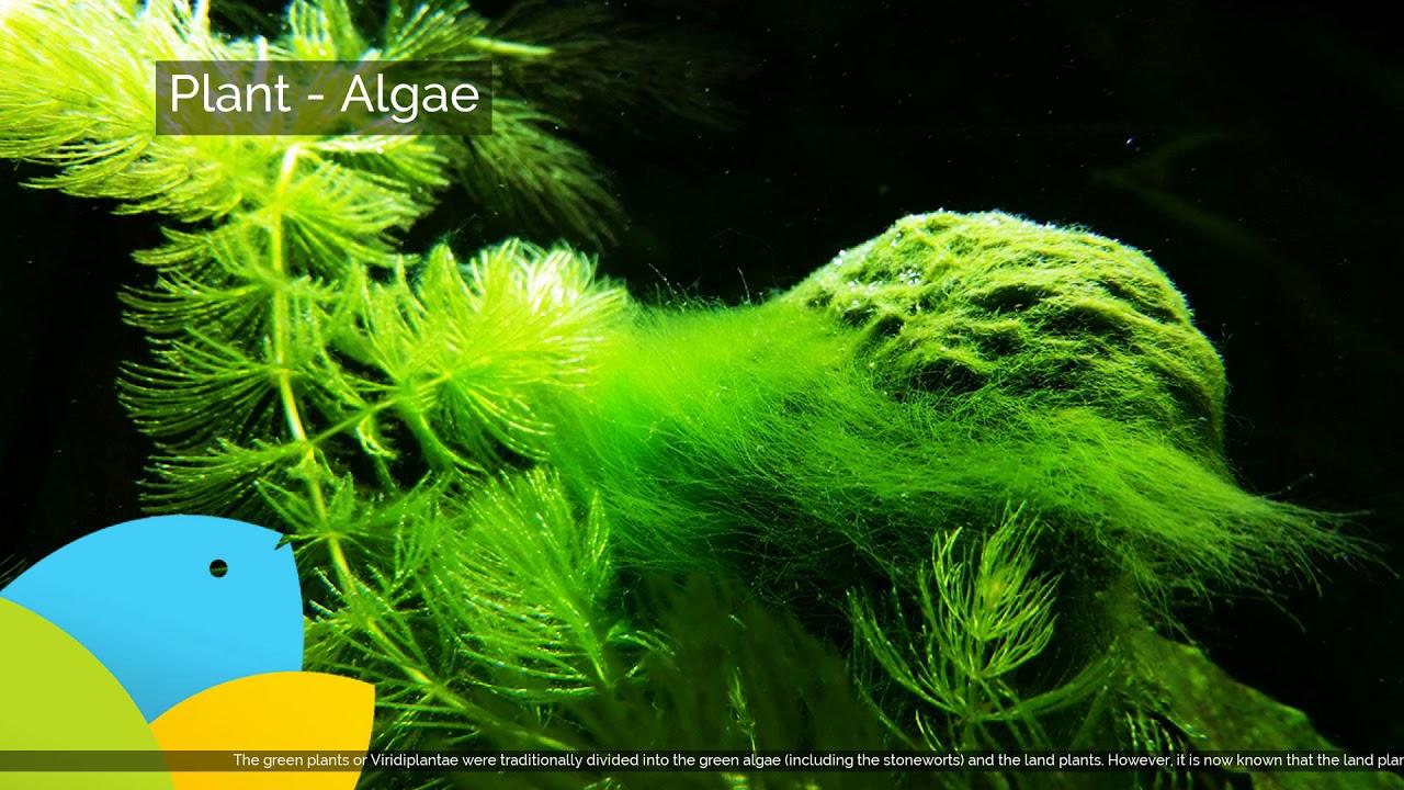 algae definition